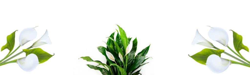 Peace Lily Flowers